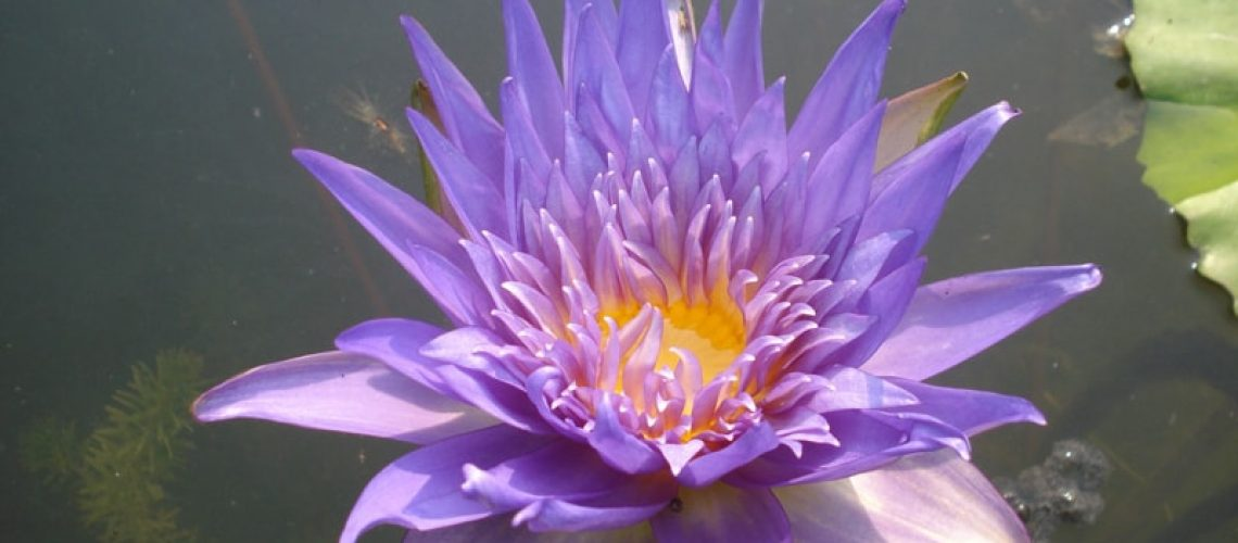lotus-208805_8b79ca30b2942b4d20b5725a122edfa0-min